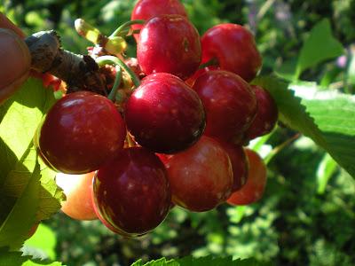 Les fruites Ecològiques de primavera-estiu.